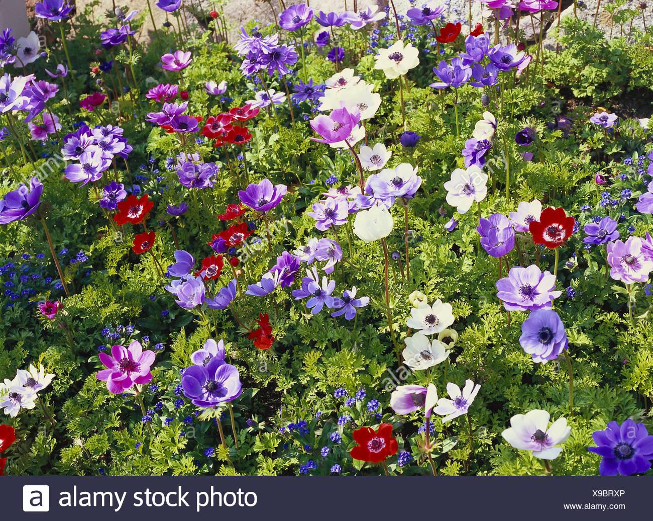 Cama De Flores Corona Anemonas Anemone Coronaria Cama Del Jardin