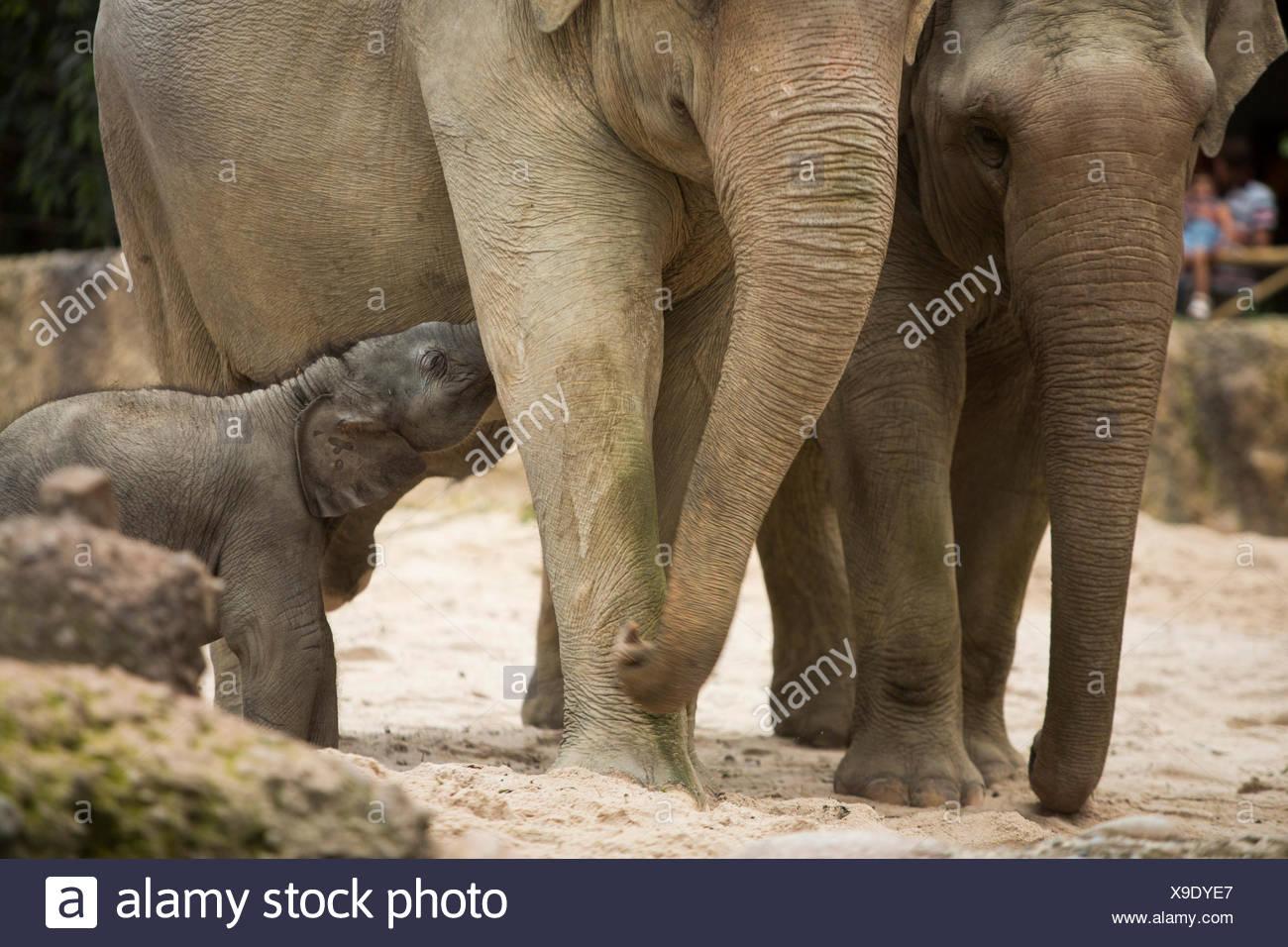 Los animales, los elefantes, los jóvenes, el elefante, el Zoológico de Zurich, animales, el cantón de Zurich, zoológico, Suiza, Europa, Foto de stock