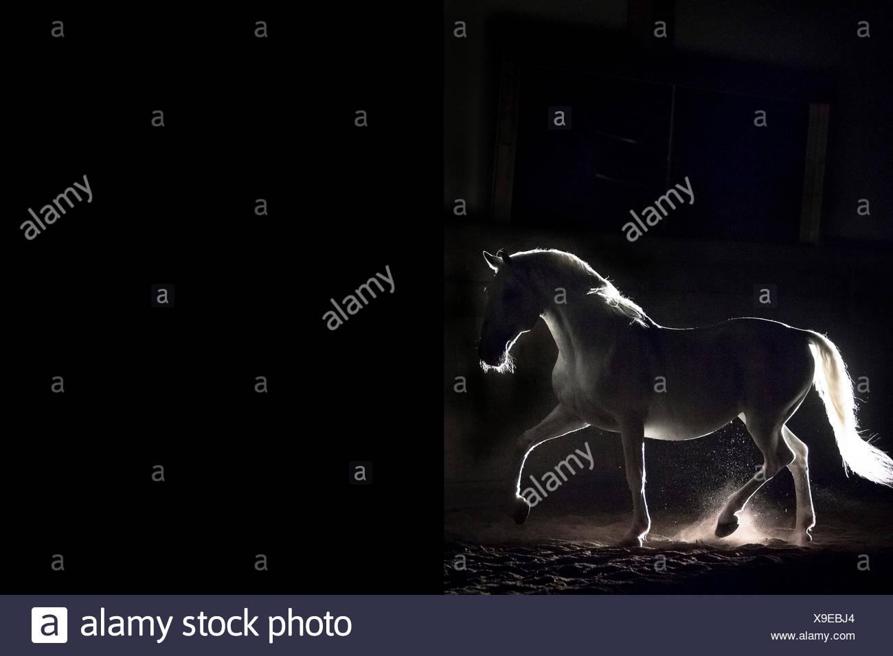 Lipizzan horse. Semental adulto (Siglavy Capriola Primas) caminar en la oscuridad. Austria Imagen De Stock