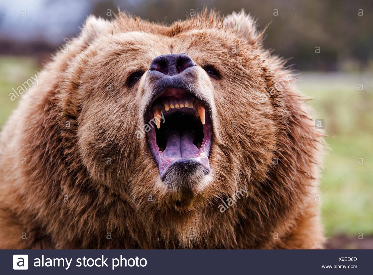 Grizzly Bear, Ursus arctos, el oso, animal, EEUU, jefe Imagen De Stock
