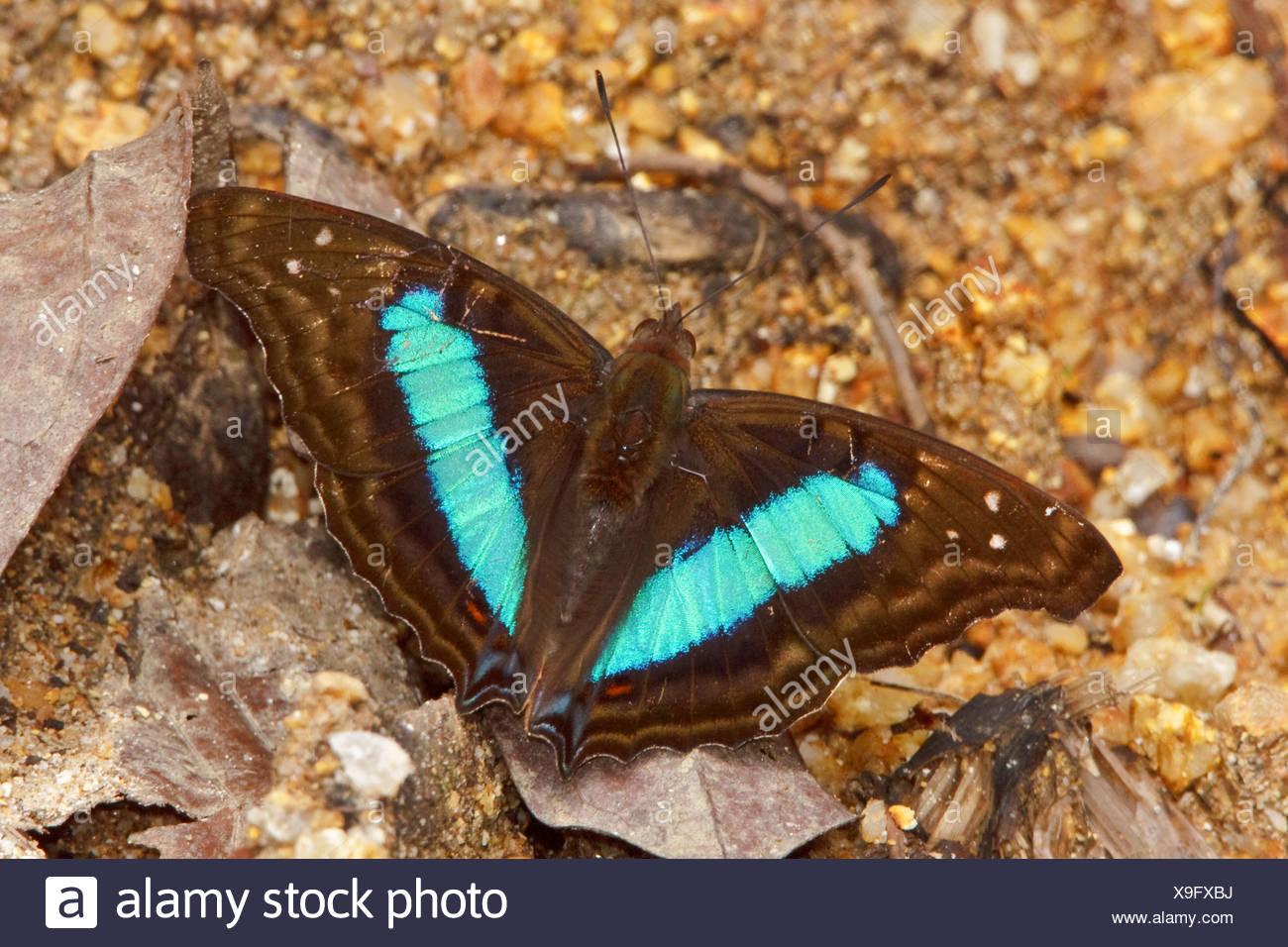 Una mariposa en el Parque Nacional Podocarpus en el sudeste de Ecuador. Foto de stock