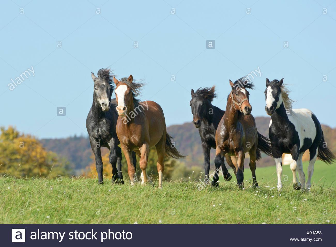 Connemara Pony Caballo pintura cinco caballos jóvenes pastos ...