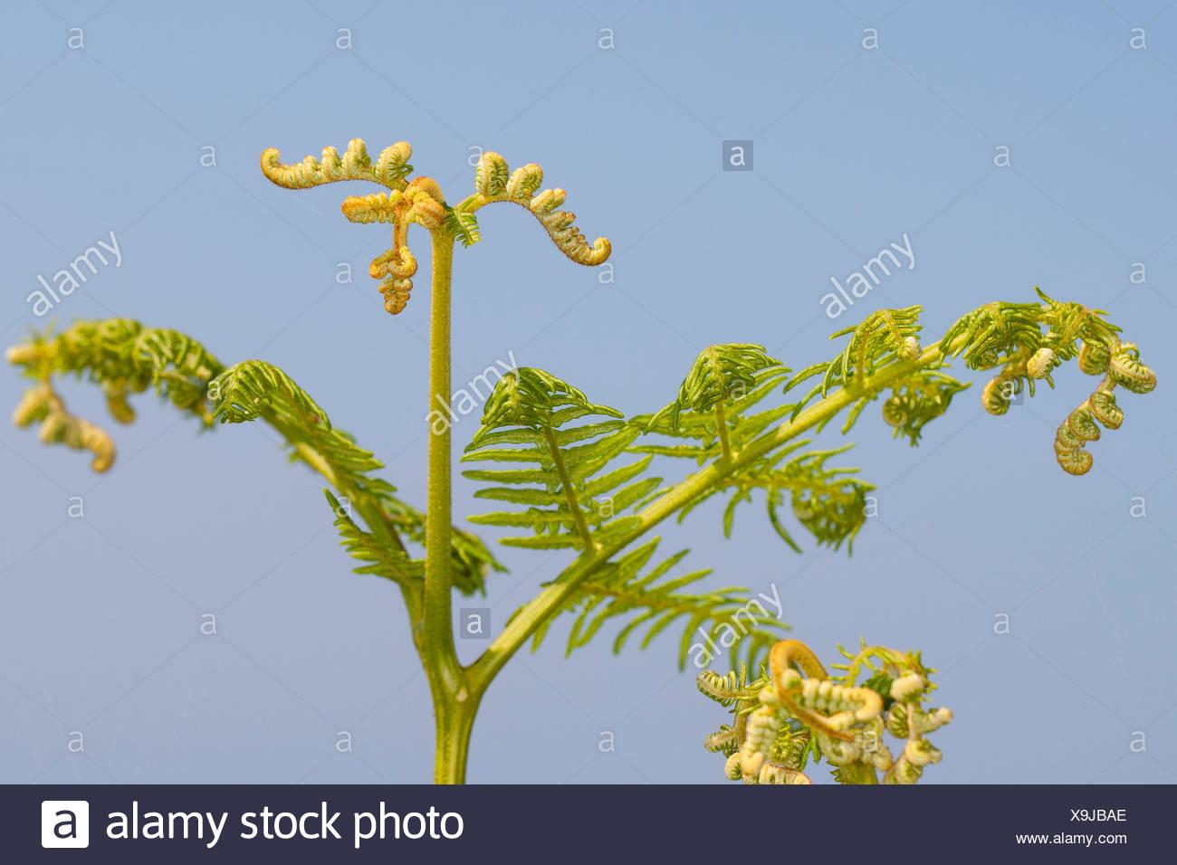 Helecho macho (Pteridium aquilinum), desarrollo de hojas, Alemania Imagen De Stock