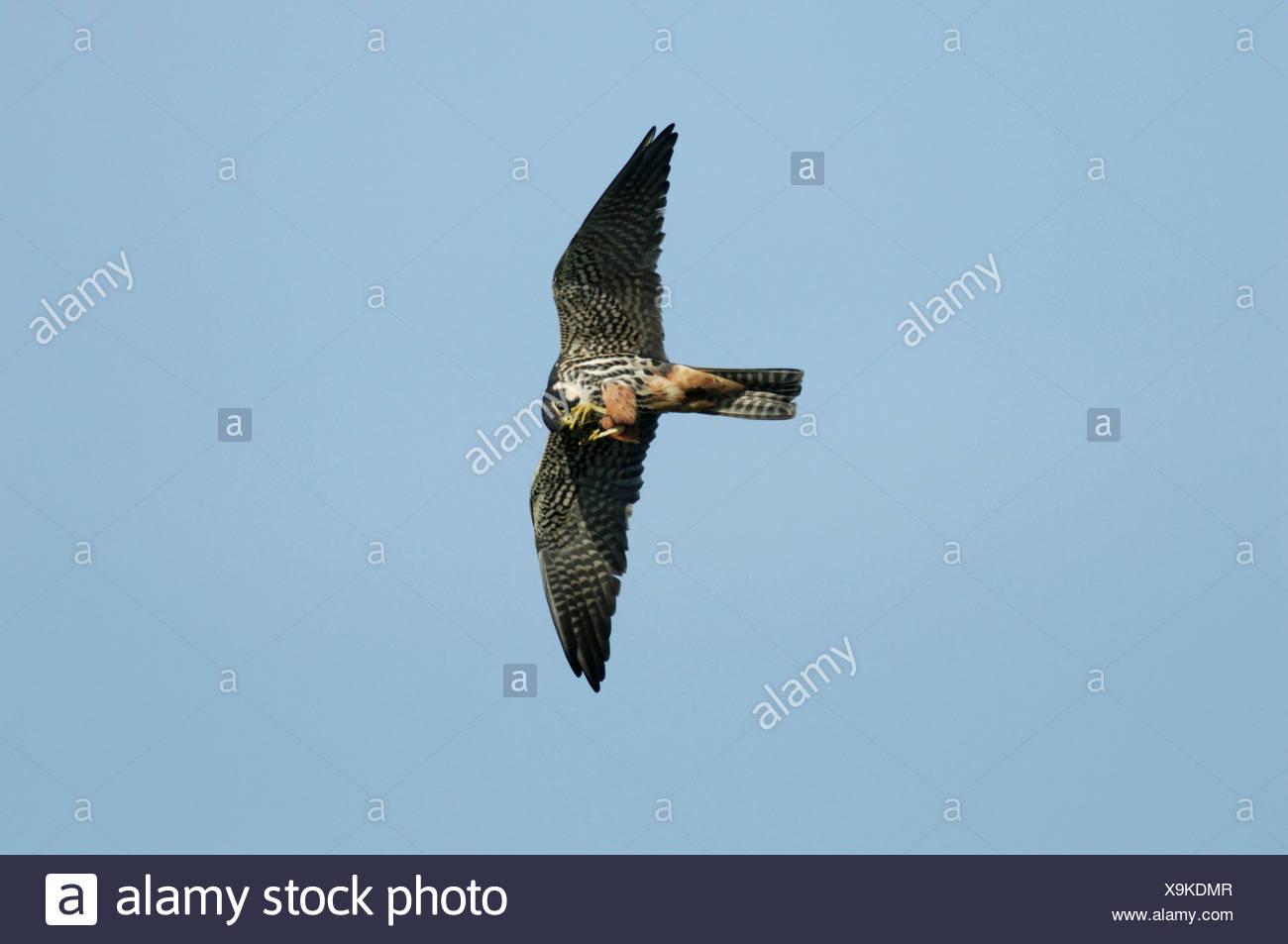 Hobby Falco Subbuteo Imagen De Stock