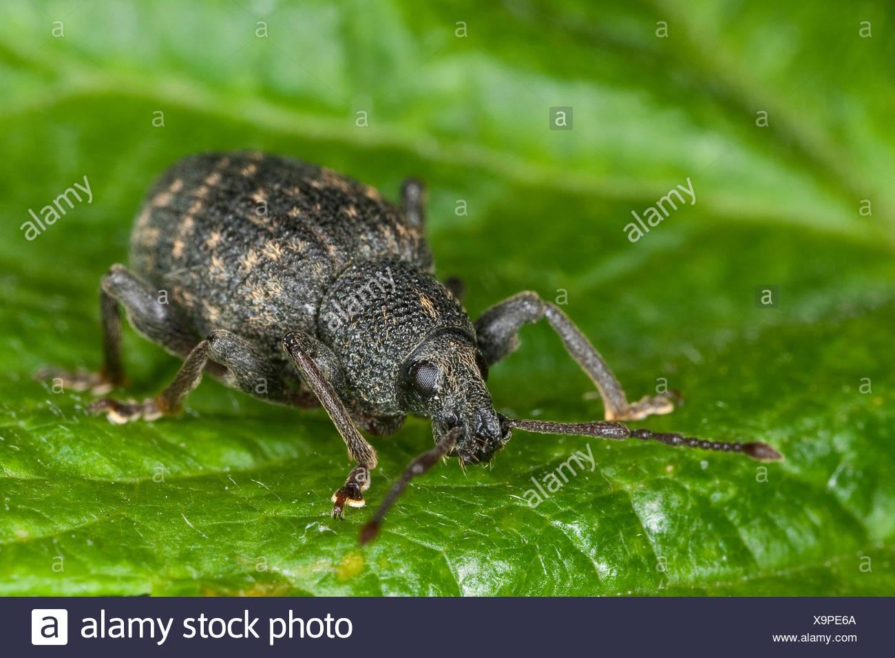 Gorgojo de cine negro, el gorgojo de la vid, el gorgojo de la vid europea (Otiorhynchus sulcatus, Brachyrhinus sulcatus), sentada sobre una hoja, Alemania Imagen De Stock