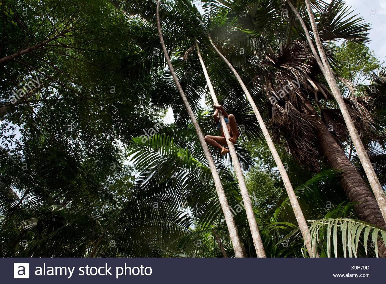 Adolescente picks açaí frutas en los bosques del estado de Maranhao, Brasil. Imagen De Stock