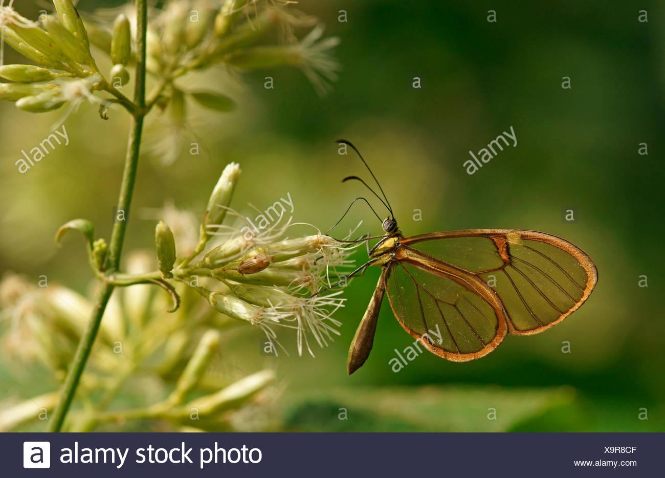 Clearwing, mariposas (Hypoleria lavinia), el Parque Nacional de Iguazú, Paraná, Brasil Imagen De Stock