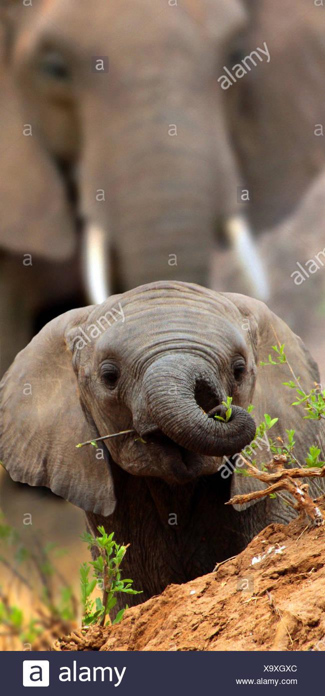 Elefante africano (Loxodonta africana), el bebé elefante mira sobre una pequeña colina, África Imagen De Stock