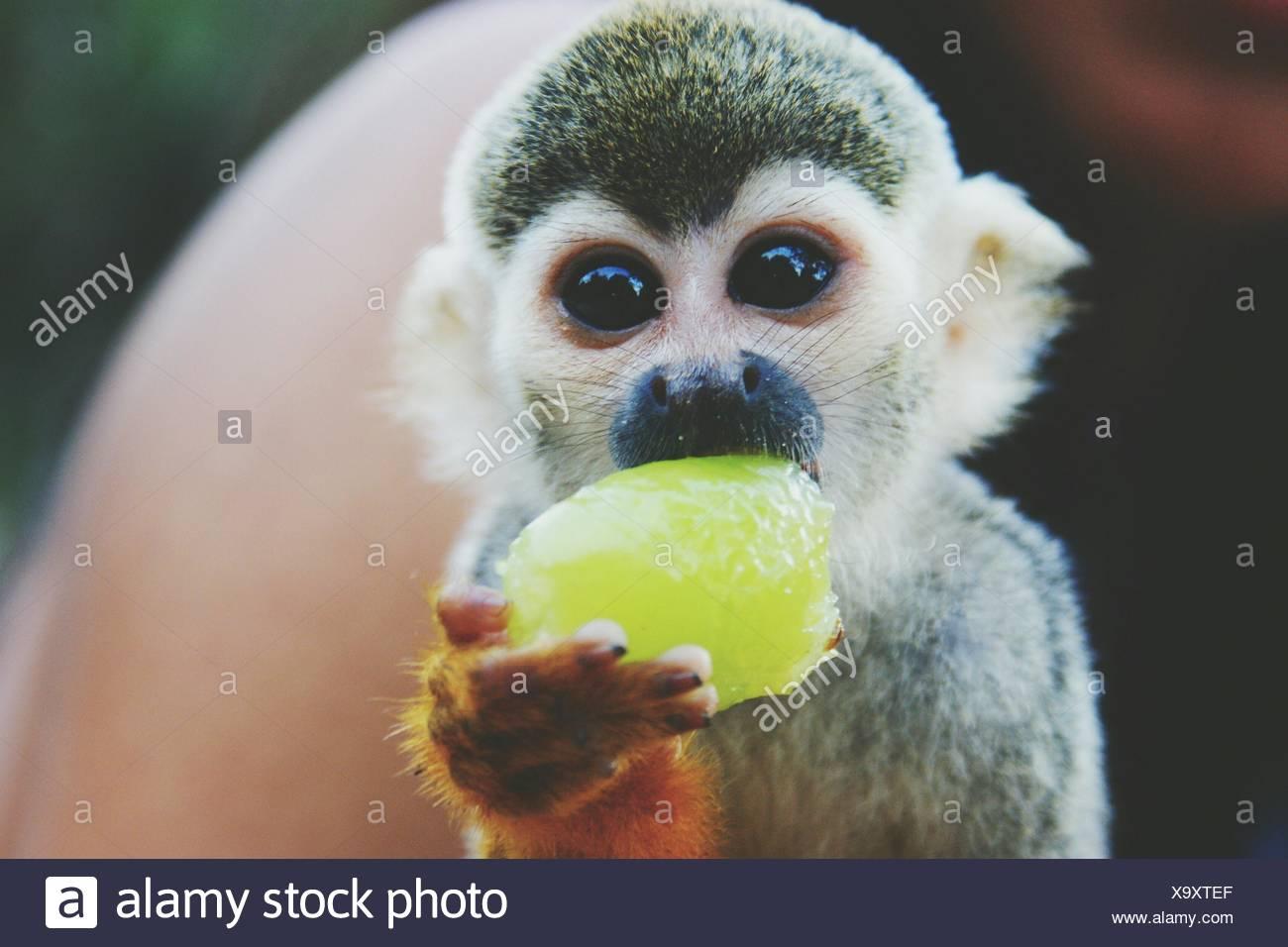 Retrato de Mono ardilla comiendo fruta al aire libre Imagen De Stock