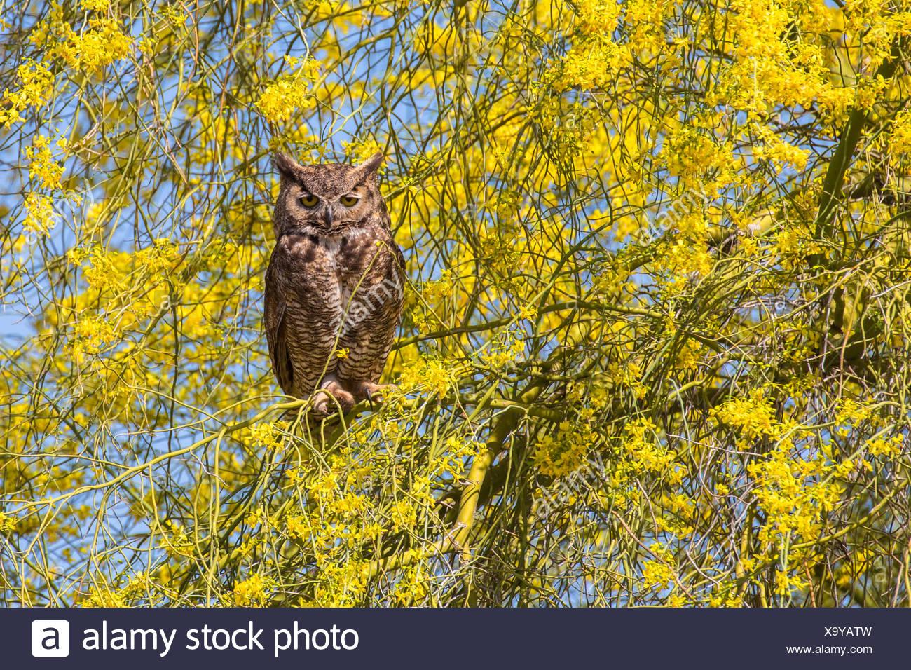 Gran búho cornudo (Bubo virginianus), se sienta en la floración del árbol de Palo Verde, Phoenix, Arizona, EE.UU. Imagen De Stock
