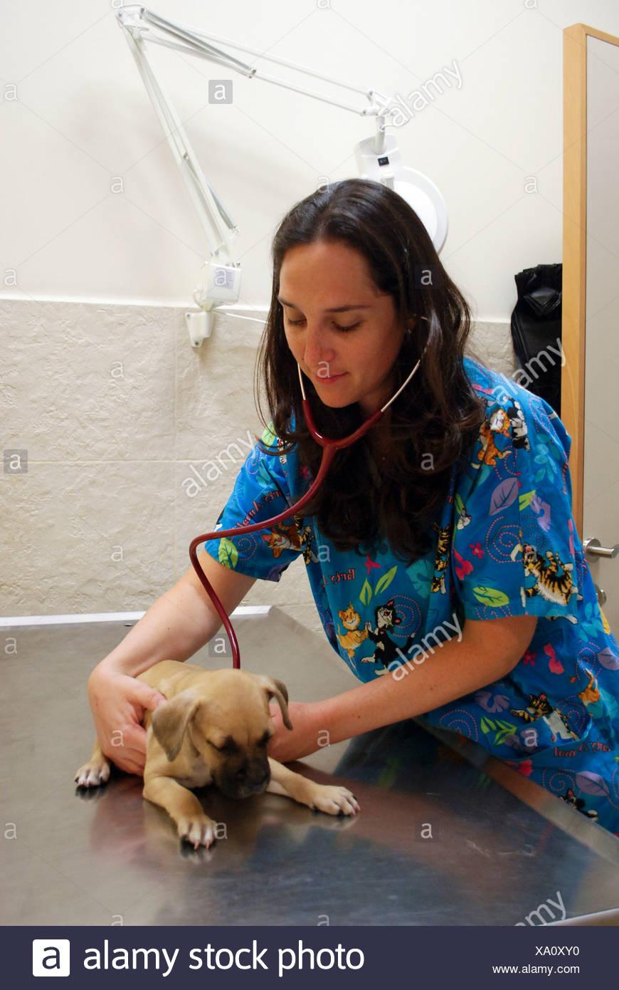 Hembra vet examina un cachorro en su clínica Foto de stock