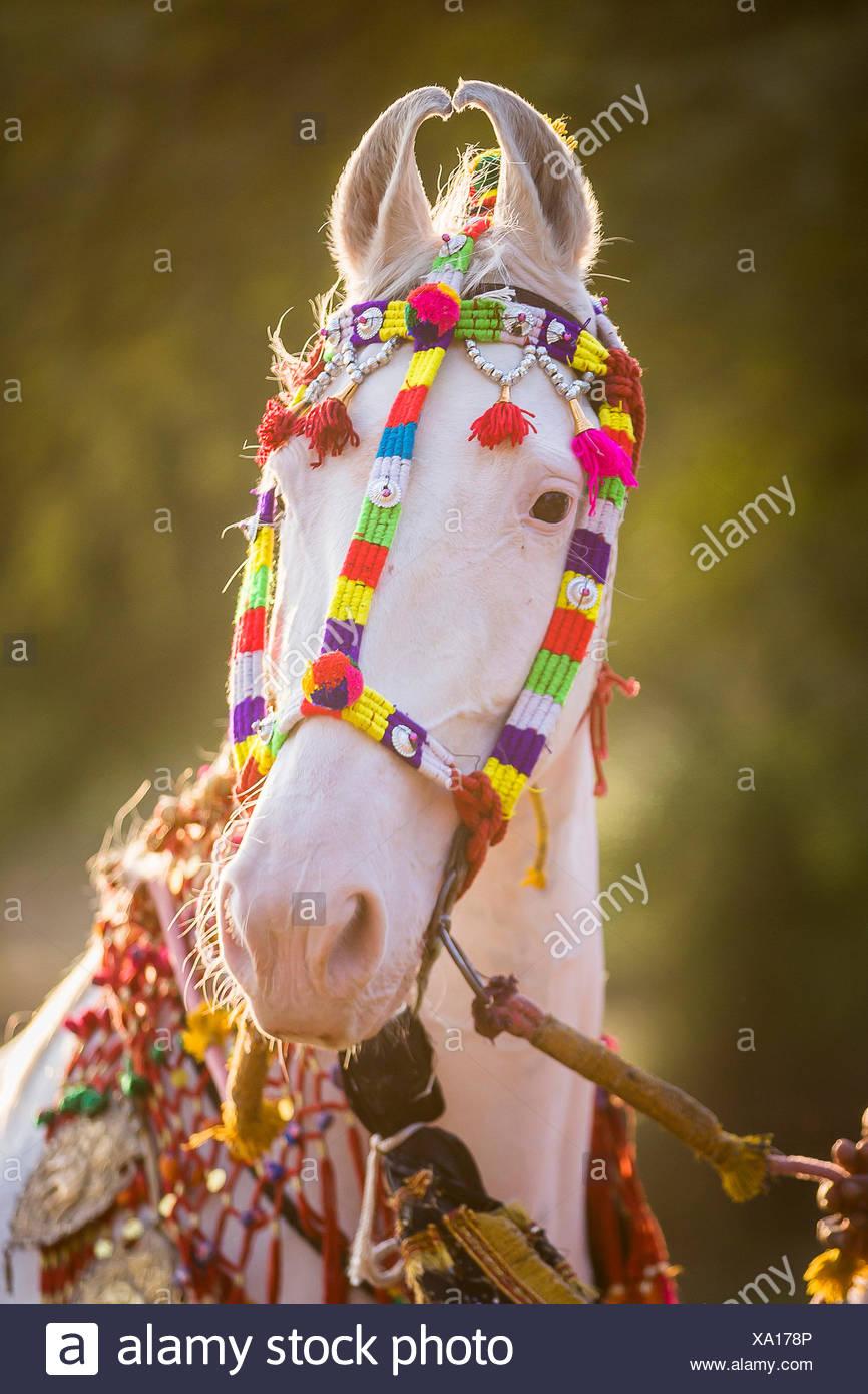 Caballo Marwari. Retrato de blanca dominante mare decoradas con coloridas tocados. Rajasthan, India Imagen De Stock