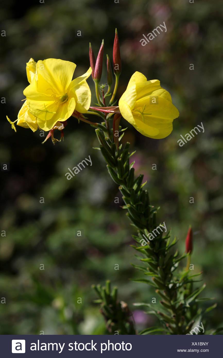 Flores Decorativas De Purga De Plantas Decorativas Flores Amarillas