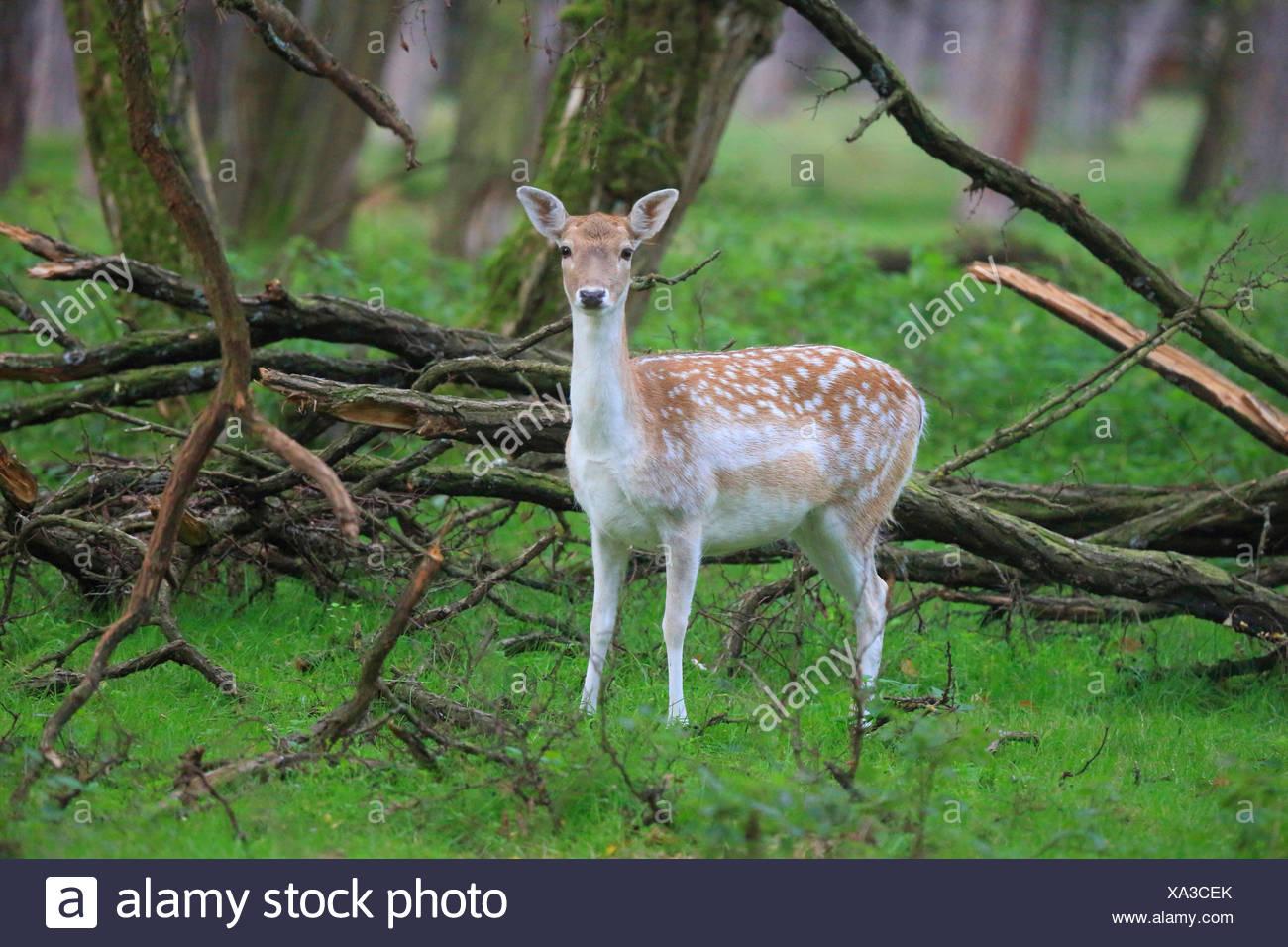 El gamo (Dama dama, Cervus dama), hembra en una pradera en el borde de bosque, Alemania Foto de stock
