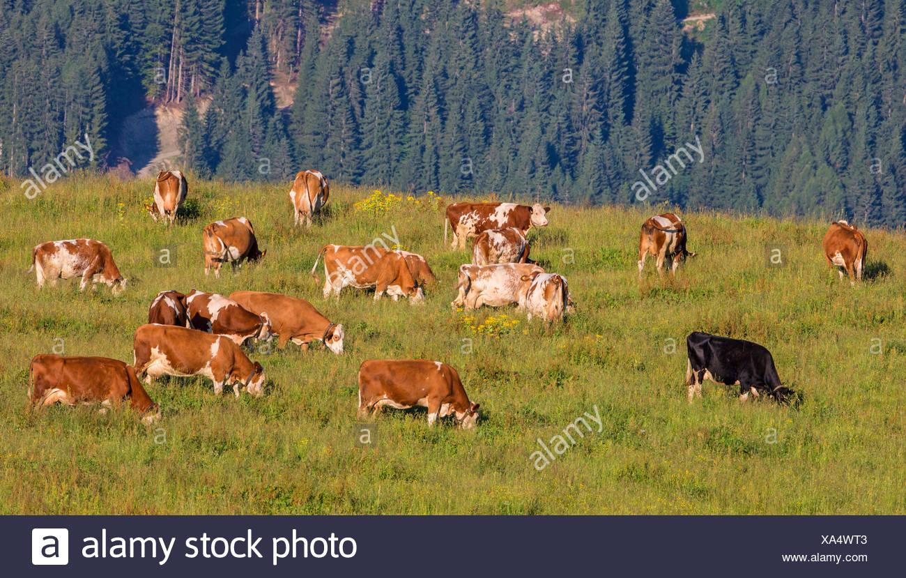 El ganado doméstico (Bos primigenius f. taurus), sobre pastizales alpinos, en Austria, en Kitzbuehel Imagen De Stock