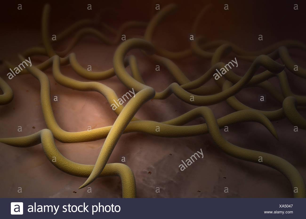 Bacteria de la enfermedad de Lyme Foto de stock