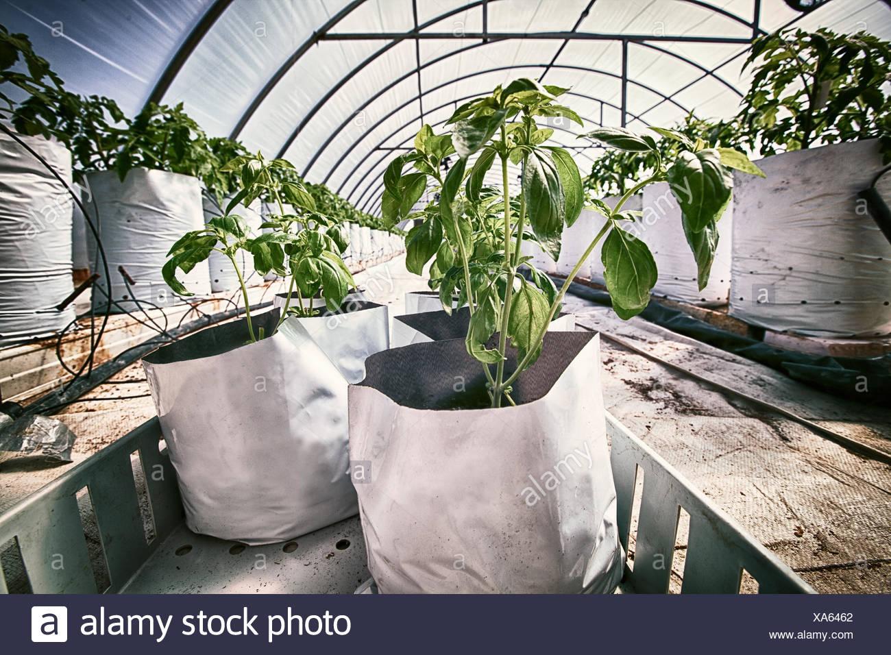 Las plantas de tomate en bolsas de crecimiento dentro del túnel de poli Imagen De Stock