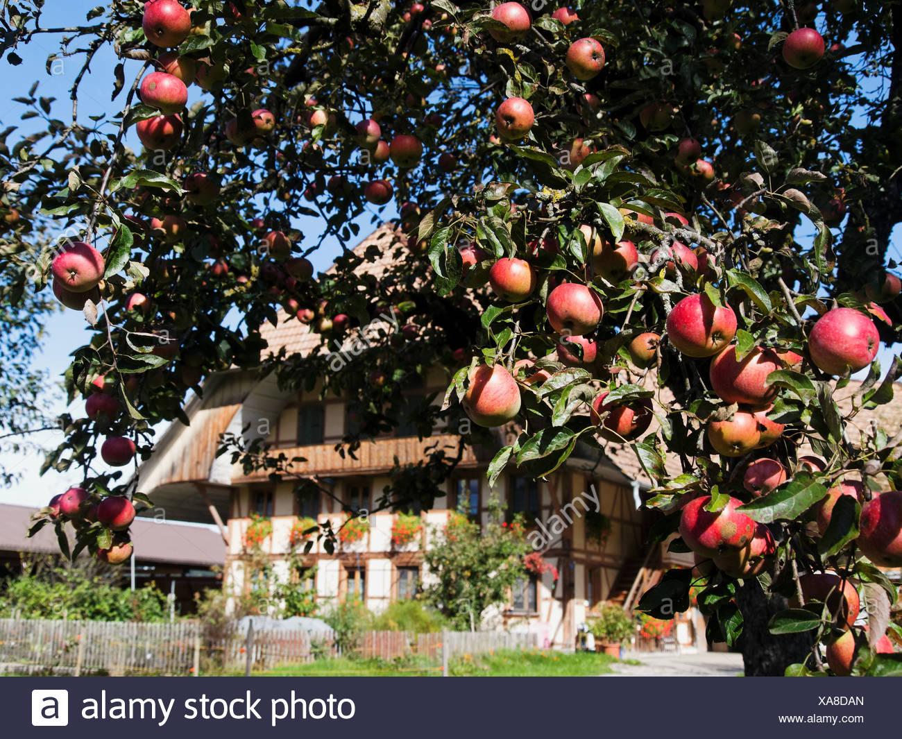 Apple, Apple tree, granja, árbol, cortijo, Emmental, cantón de Berna, Berna, frutas, huerto, Rüderswil, Suiza, Europa Foto de stock