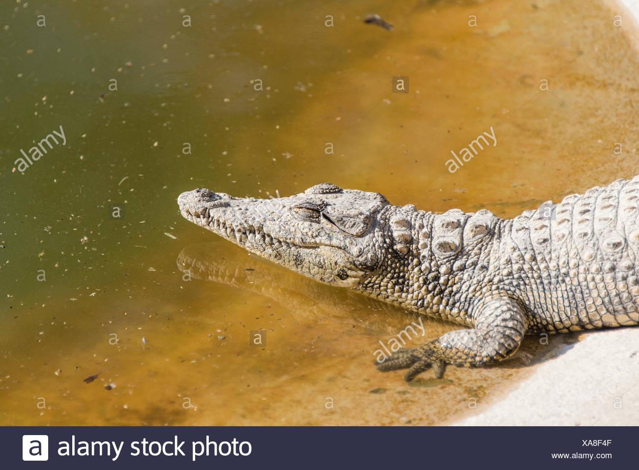 Los cocodrilos del Nilo (Crocodylus niloticus), cocodrilo ranch, Otjiwarongo, Namibia Foto de stock