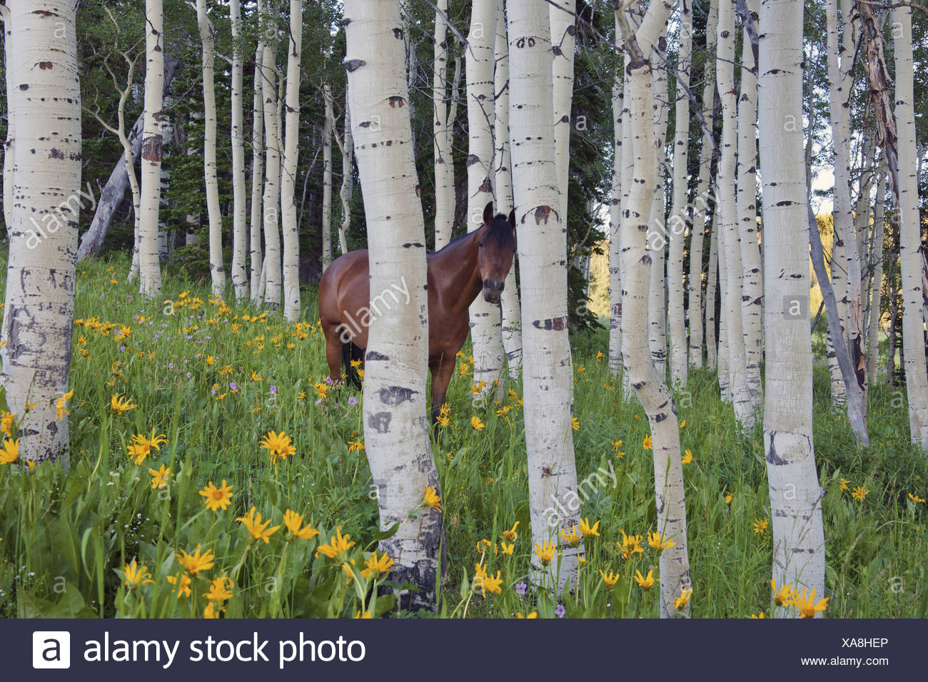 Caballo en un campo de flores silvestres y árboles de Aspen montañas Uinta Utah Imagen De Stock