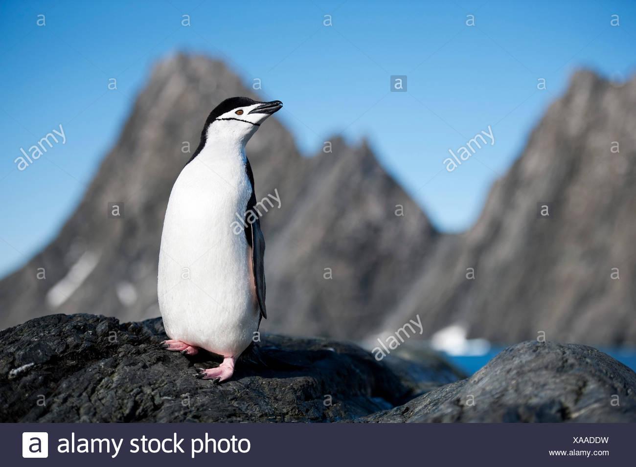 Pingüinos de barbijo Imagen De Stock