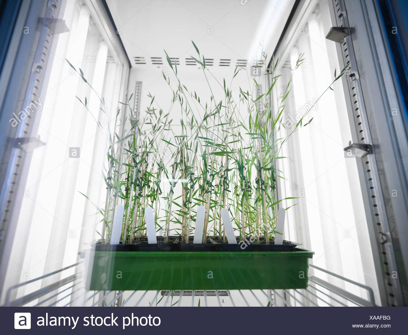 Las plantas que crecen en el laboratorio nevera Imagen De Stock