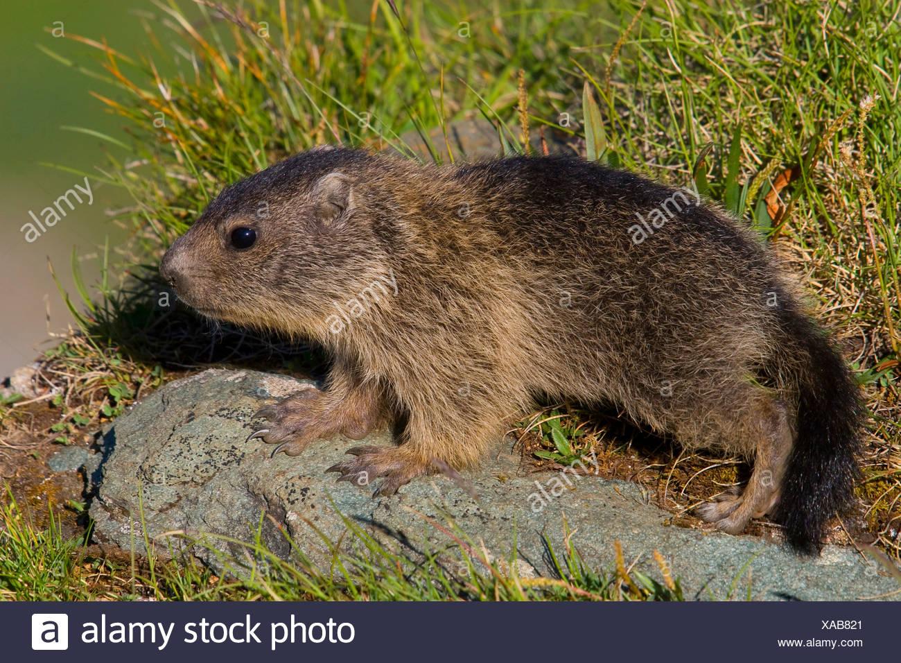 La marmota alpina (Marmota marmota), juvenil de pie sobre una piedra a la orilla del agua, Austria, Parque Nacional Hohe Tauern, Grossglockner Imagen De Stock