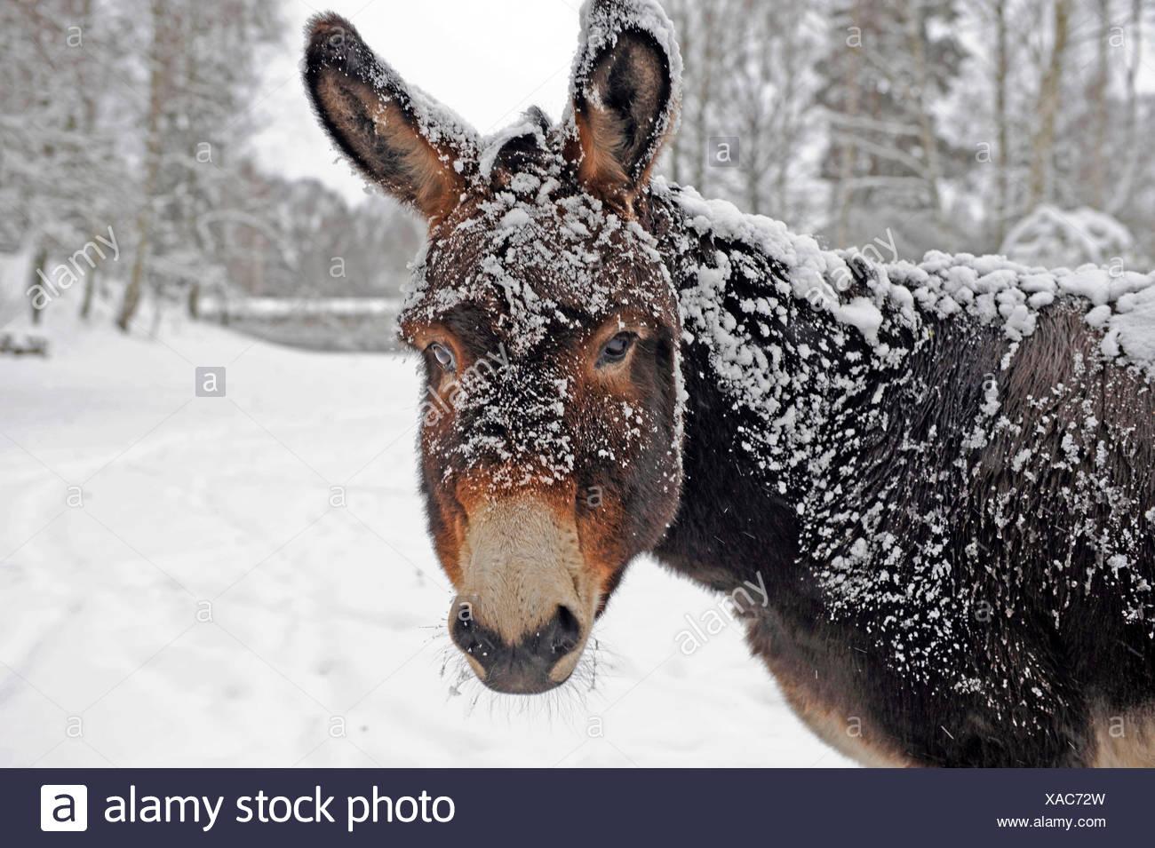 Un burro marrón comprometidos con nieve en pastoreo invernal Foto de stock