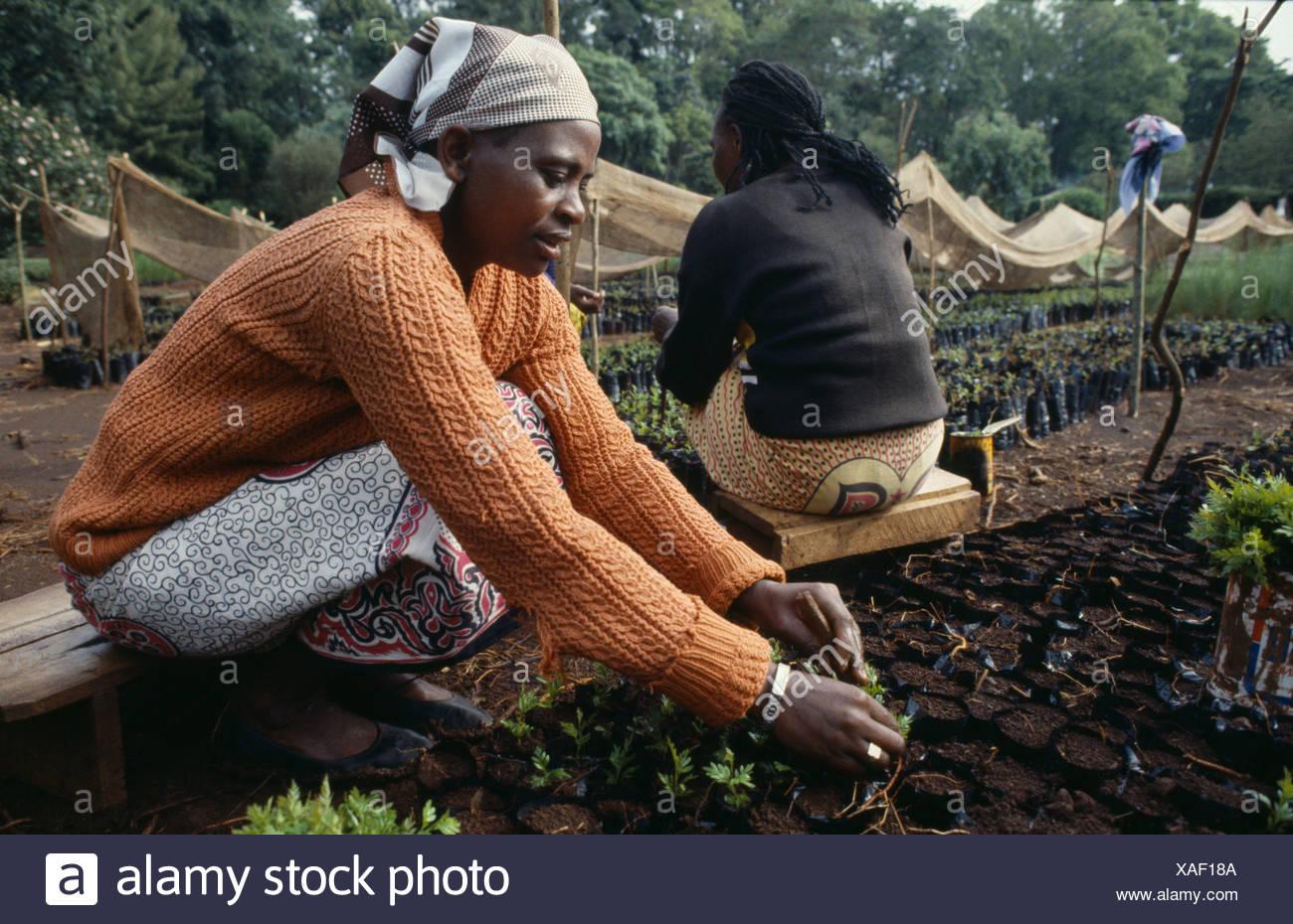 Kenia, África Oriental, Meru, la mujer la siembra de las plántulas en un vivero para el proyecto de reforestación. Imagen De Stock