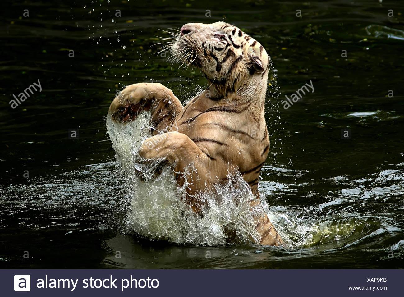 Indonesia, Depok, Tigre saltando desde el agua para recoger los alimentos Imagen De Stock