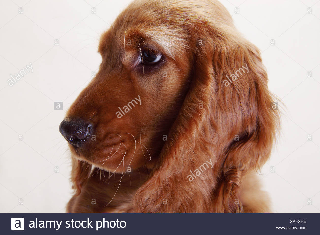 Un Cocker Spaniel, vista lateral Imagen De Stock