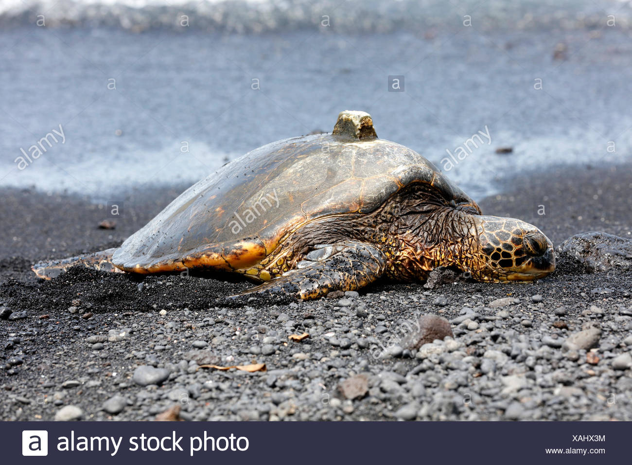 Tortuga Verde (Chelonia mydas) con receptor GPS en shell, playa de arena negra, Punalu'u, Big Island, Hawaii, EE.UU. Imagen De Stock