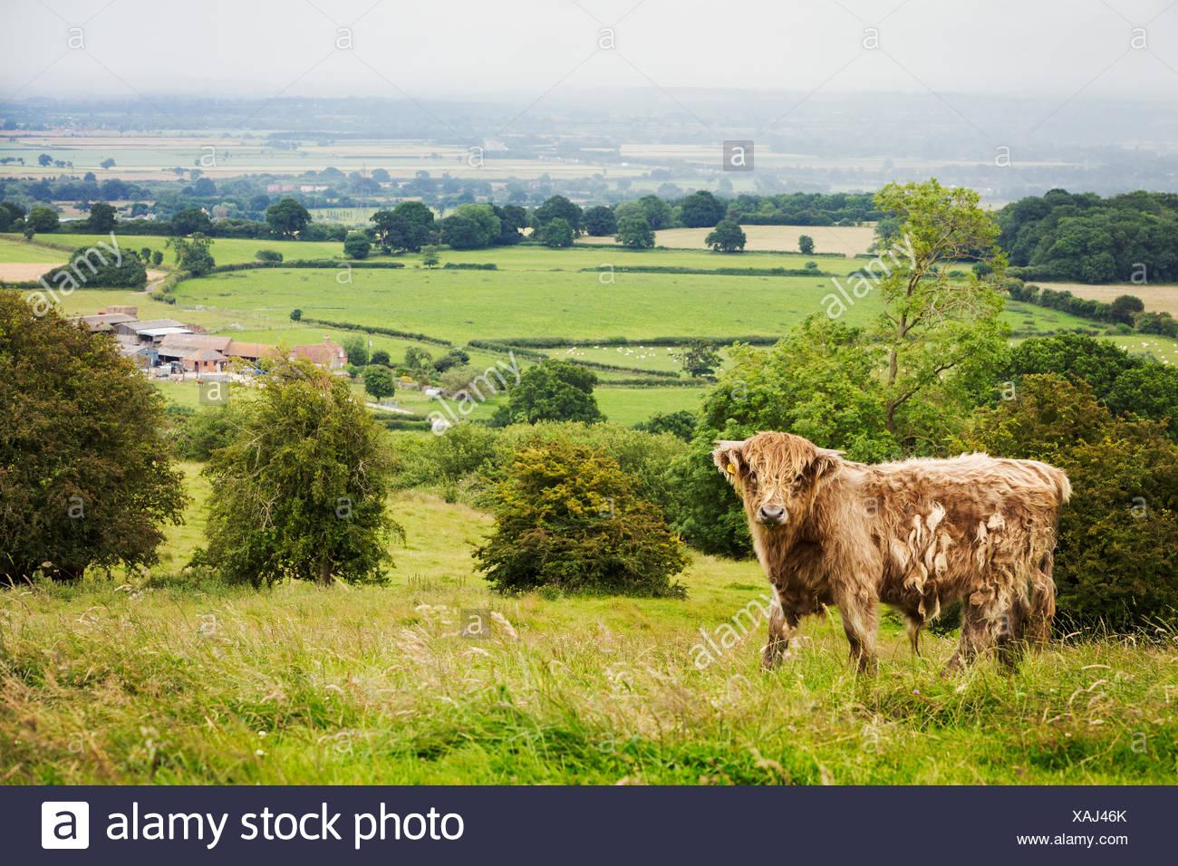 Brown Highland vaca en un campo, y vistas a la campiña. Foto de stock