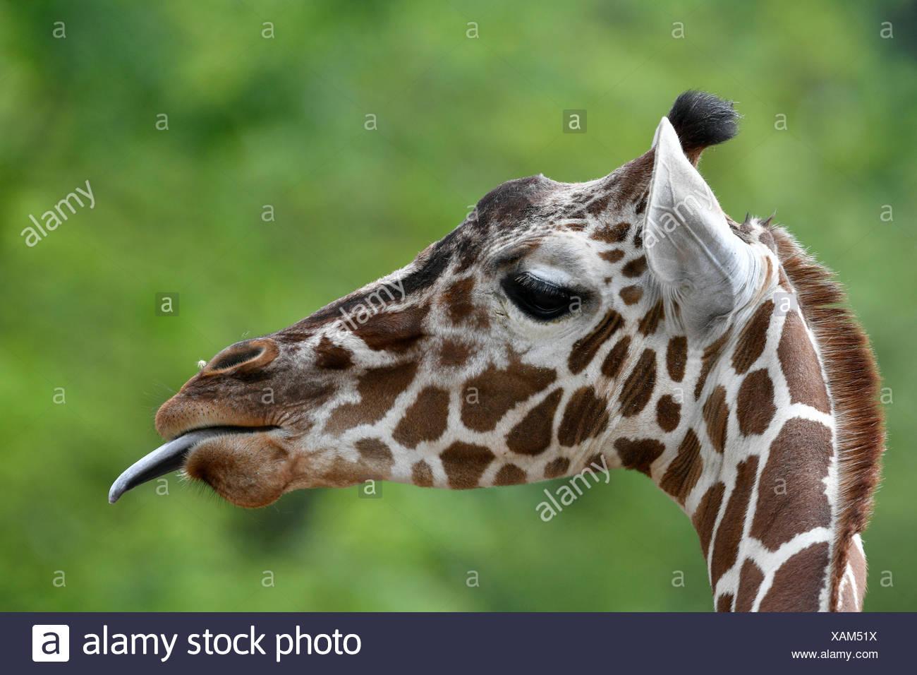 Jirafa reticulada (Giraffa camelopardalis reticulata), retrato, le saca la lengua, cautiva Foto de stock