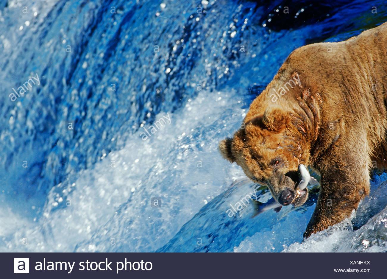 Oso pardo (Ursus arctos) captura de salmón que salta hasta una cascada, N.P. Katmai, Alaska Imagen De Stock