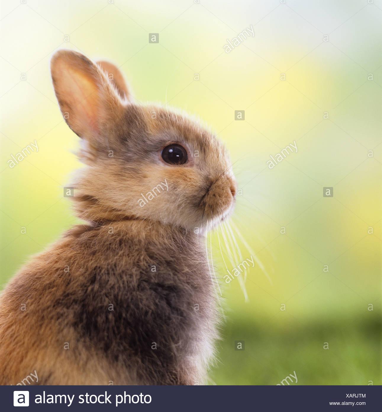 Jóvenes retrato conejo enano. Imagen De Stock