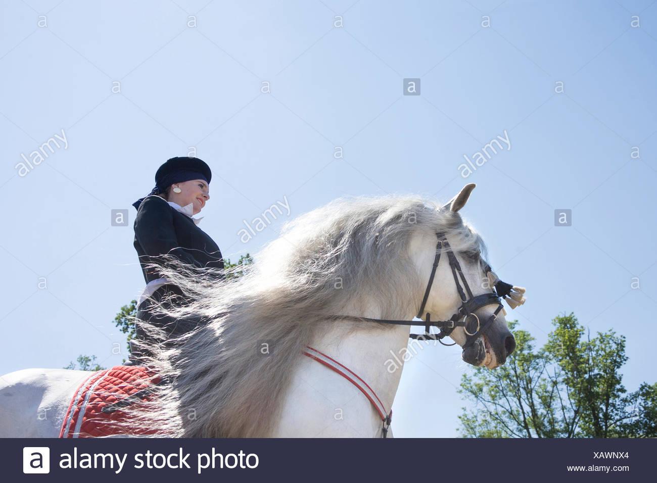 Puro Caballo Español, andaluz. Jinete en la vestimenta tradicional sobre gris semental galopando en un caballo, senn desde abajo. Austria Imagen De Stock