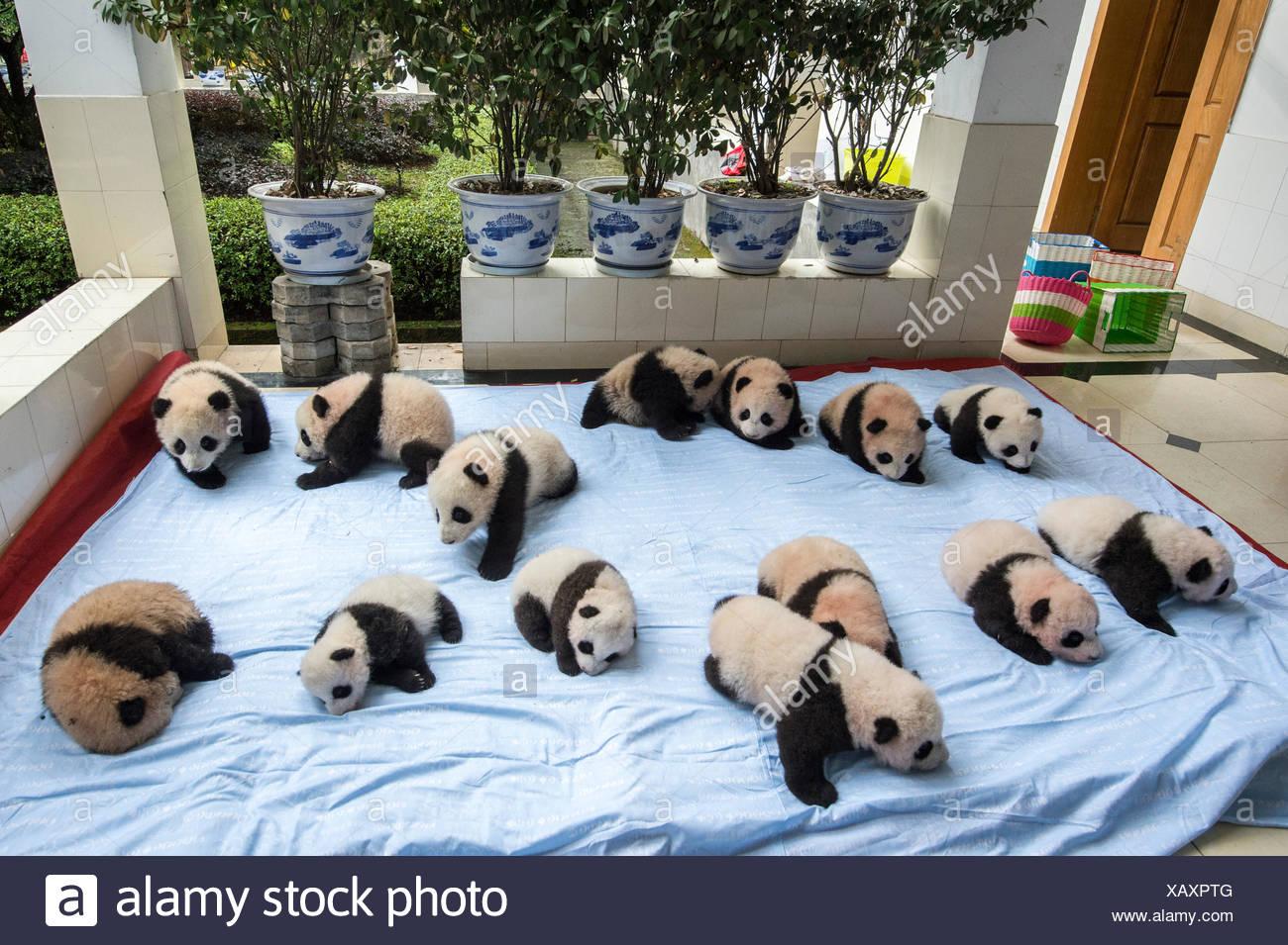 Catorce bebé criados en cautividad pandas gigantes sobre una manta en la base Panda Bifengxia panda gigante centro de cría. Imagen De Stock