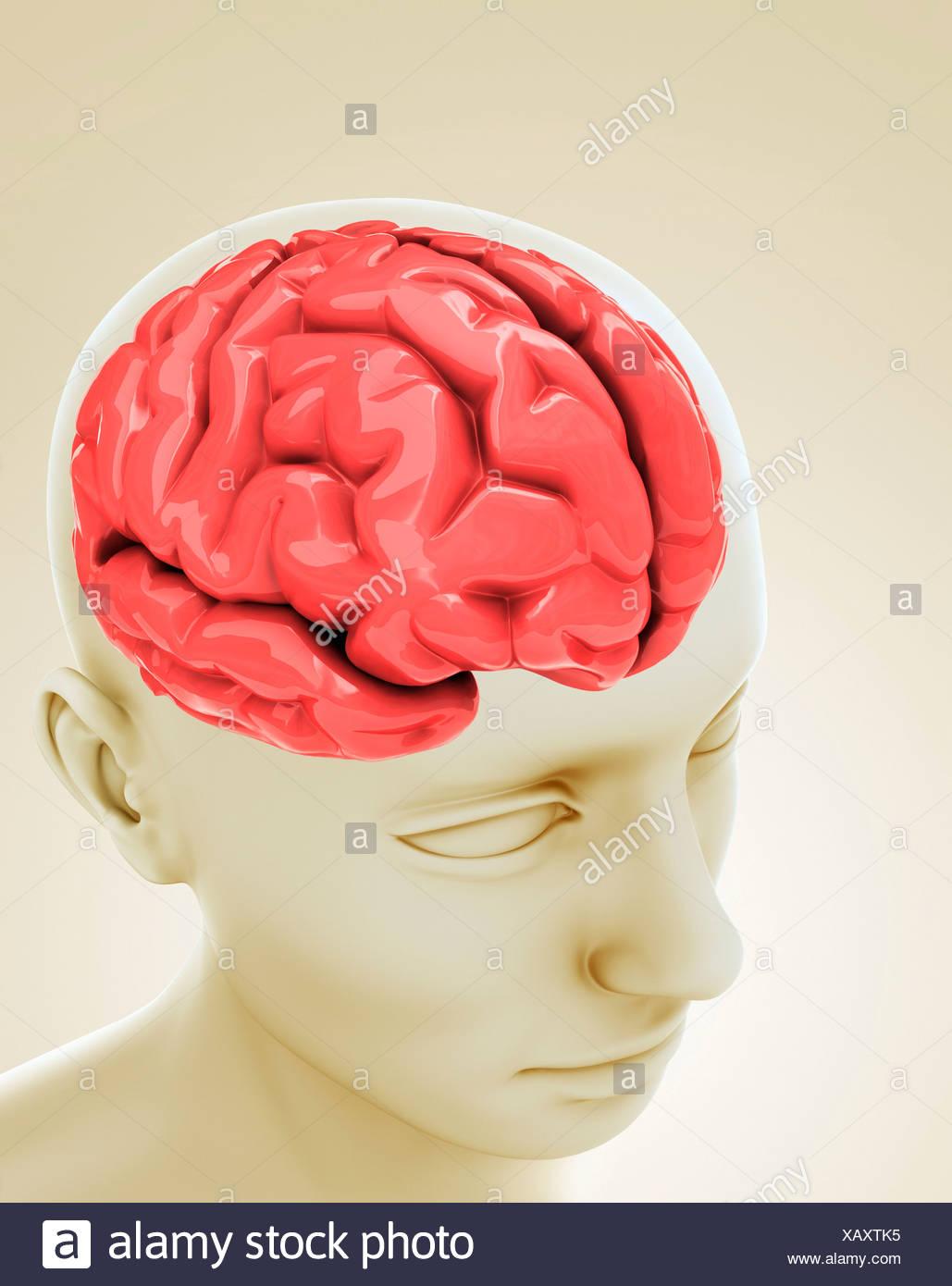 Cerebro Humano, obras de arte Imagen De Stock