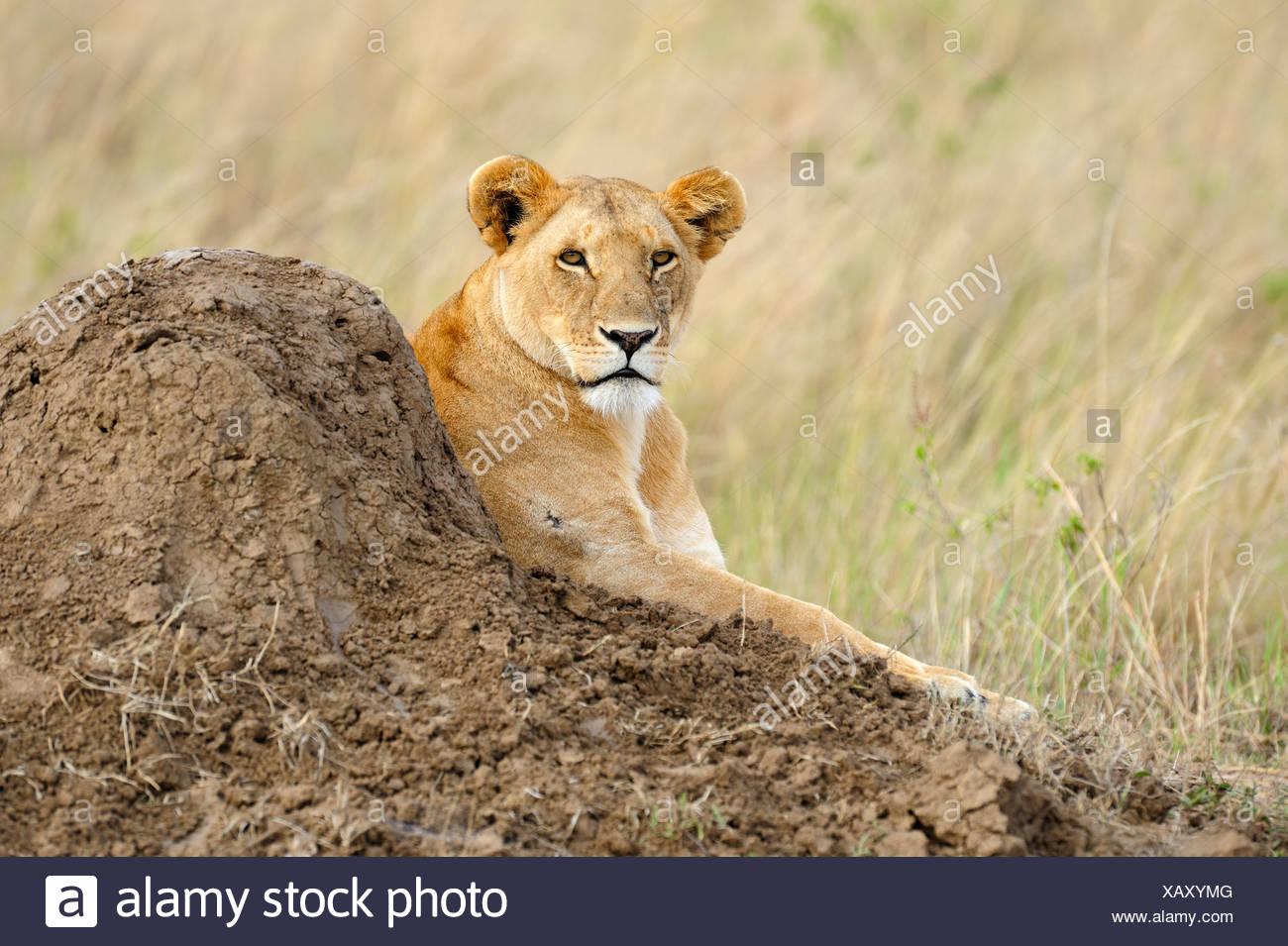 León (Panthera leo), hembra descansando en un termitero, Reserva Nacional de Masai Mara, Kenya, Africa. Imagen De Stock