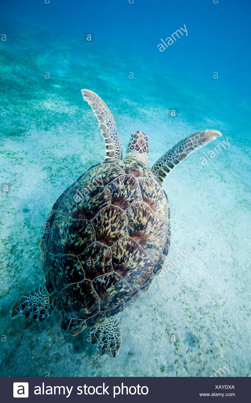 Encantador Anatomía De Las Tortugas De Mar Verde Patrón - Imágenes ...