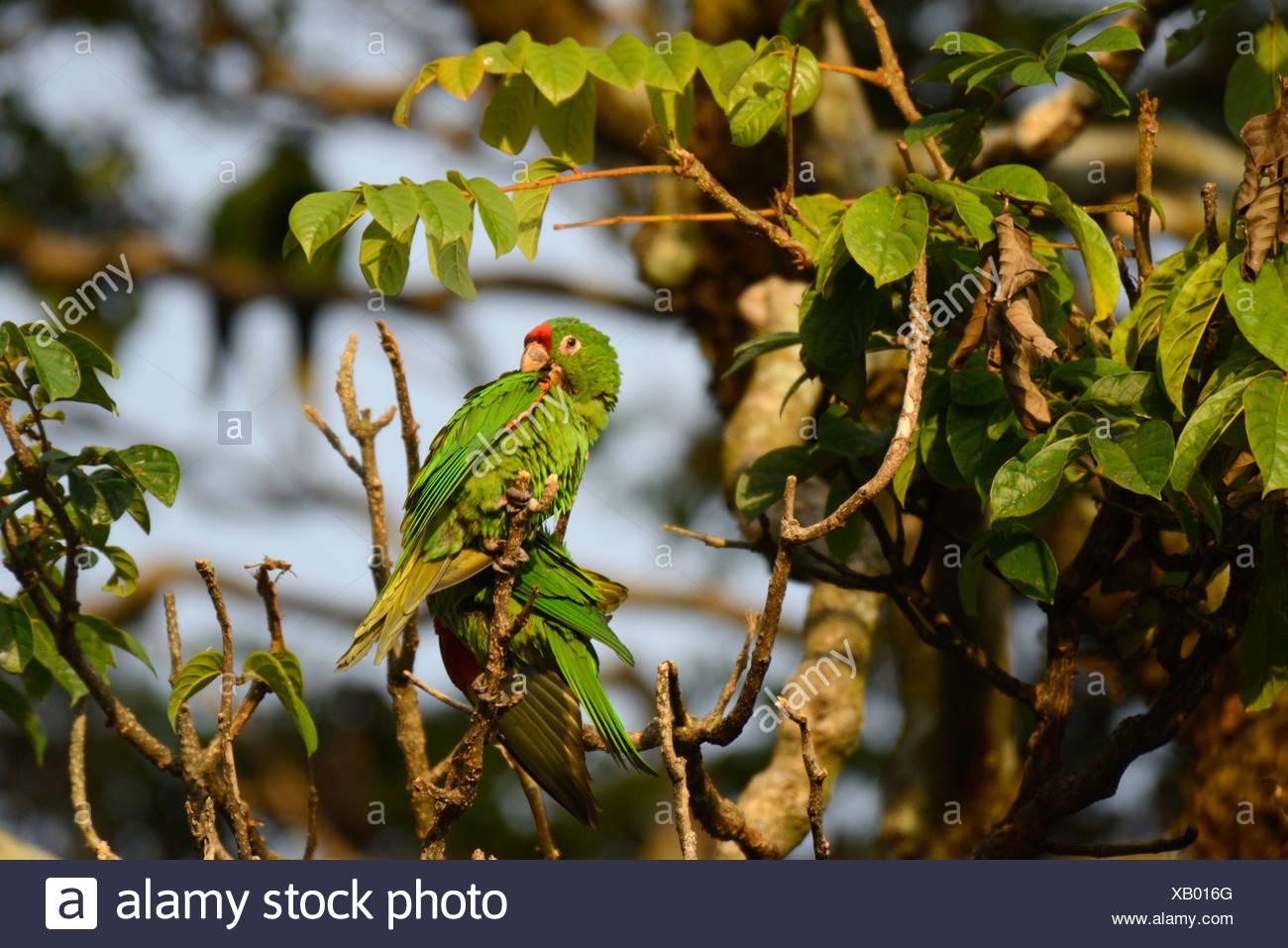 En Centroamérica, Costa Rica, San José, loro, verde, ave, San José Imagen De Stock