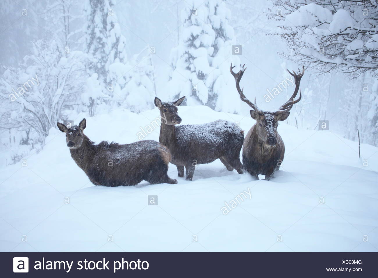 Hirschgruppe im Winter Foto de stock