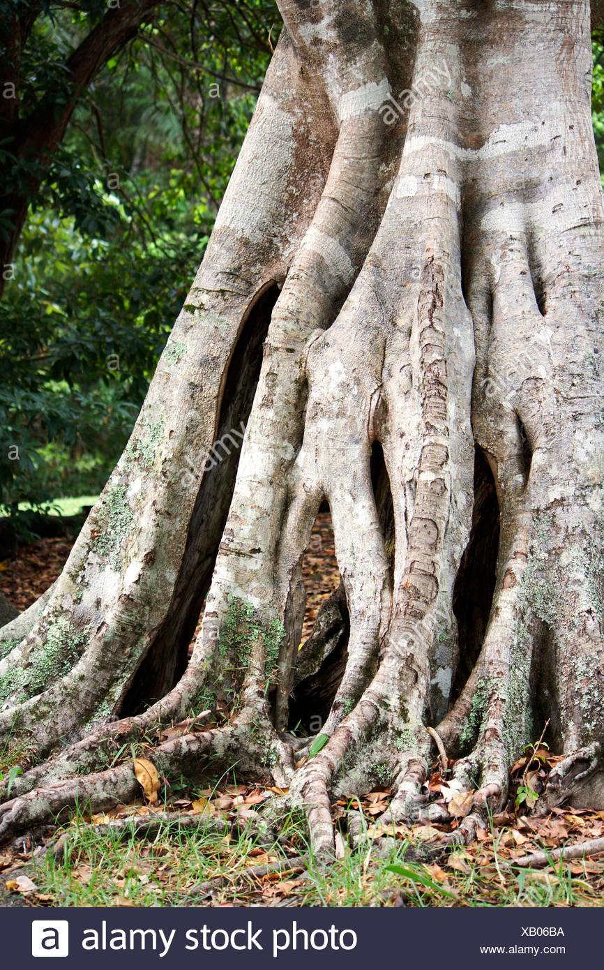 Australia, el tronco y las raíces expuestas de la antigua higuera Imagen De Stock