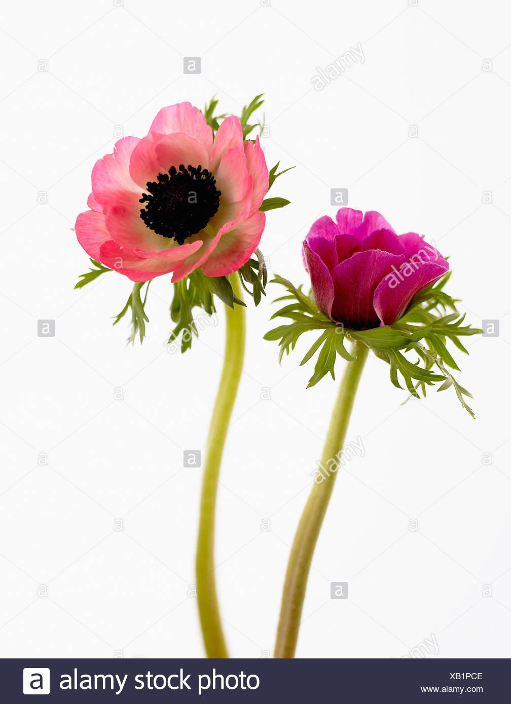 Anemone Coronaria Anemona De Jardin Solo Abrir La Flor Rosa En