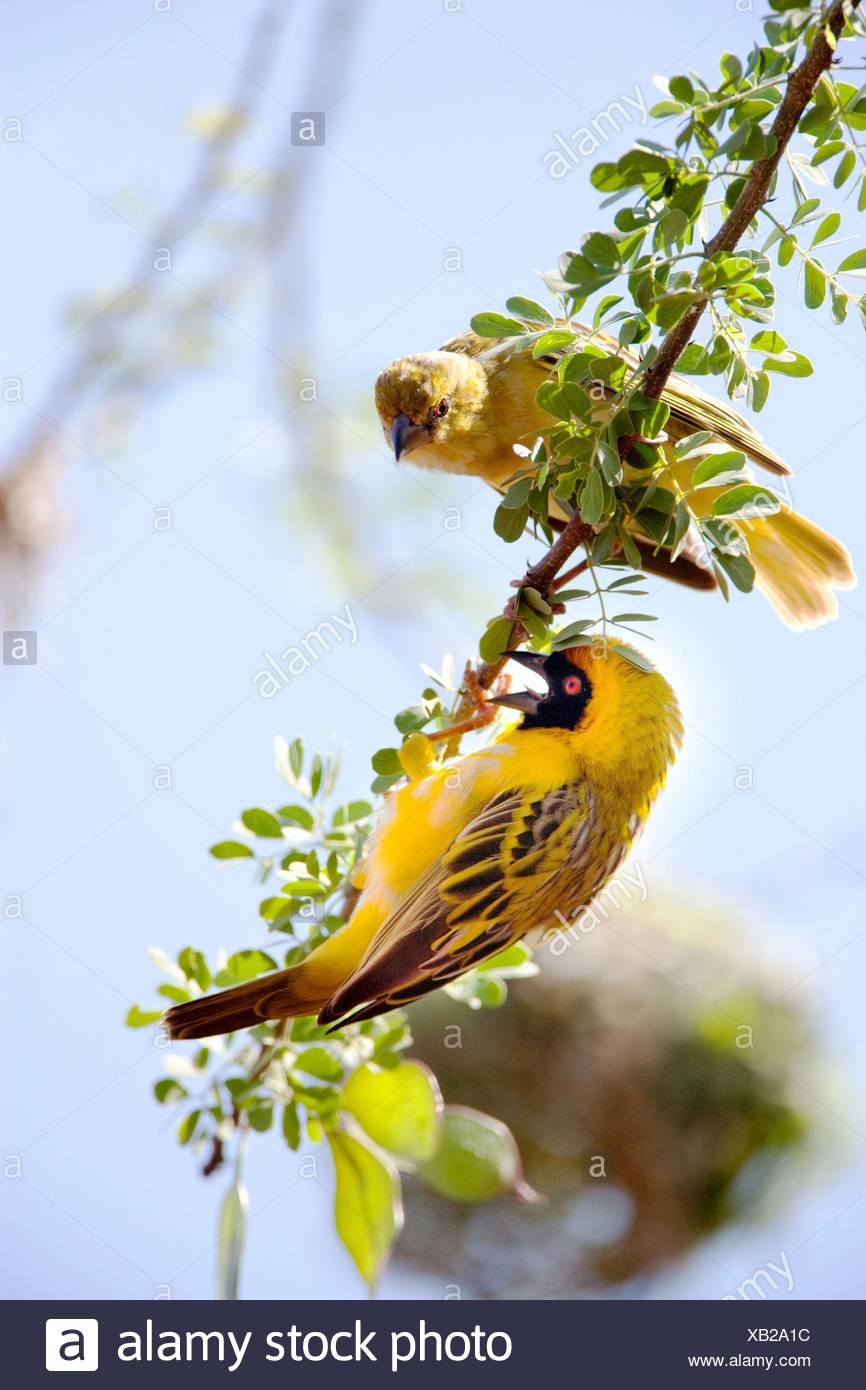 pájaros tejedores Foto de stock