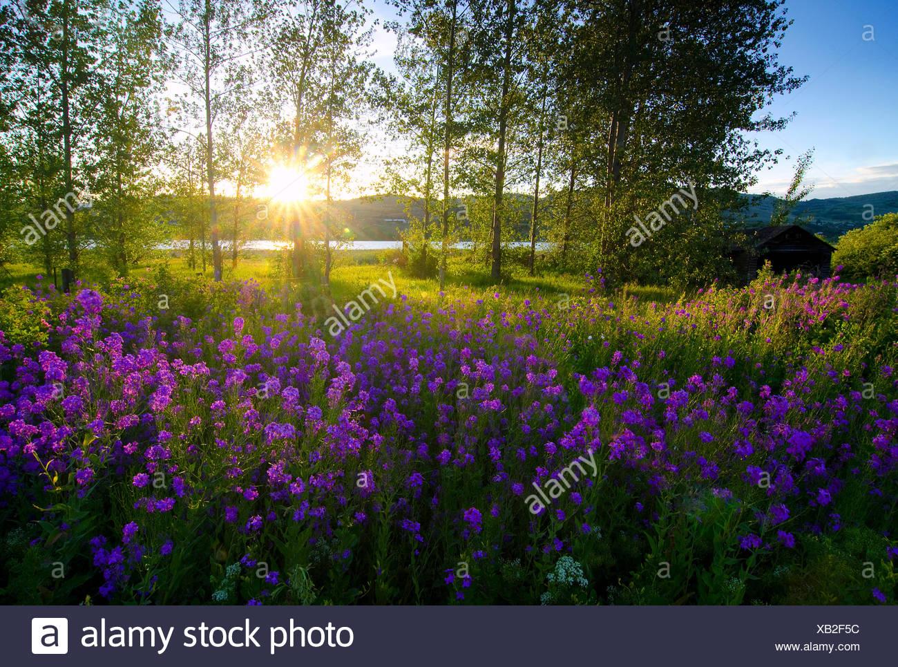 Hesperis matronalis (dames rocket) en plena floración como ellos empapan en primavera sol al lado de el lago de los cisnes en Vernon, en la región de Okanagan de la Columbia Británica, Canadá Imagen De Stock
