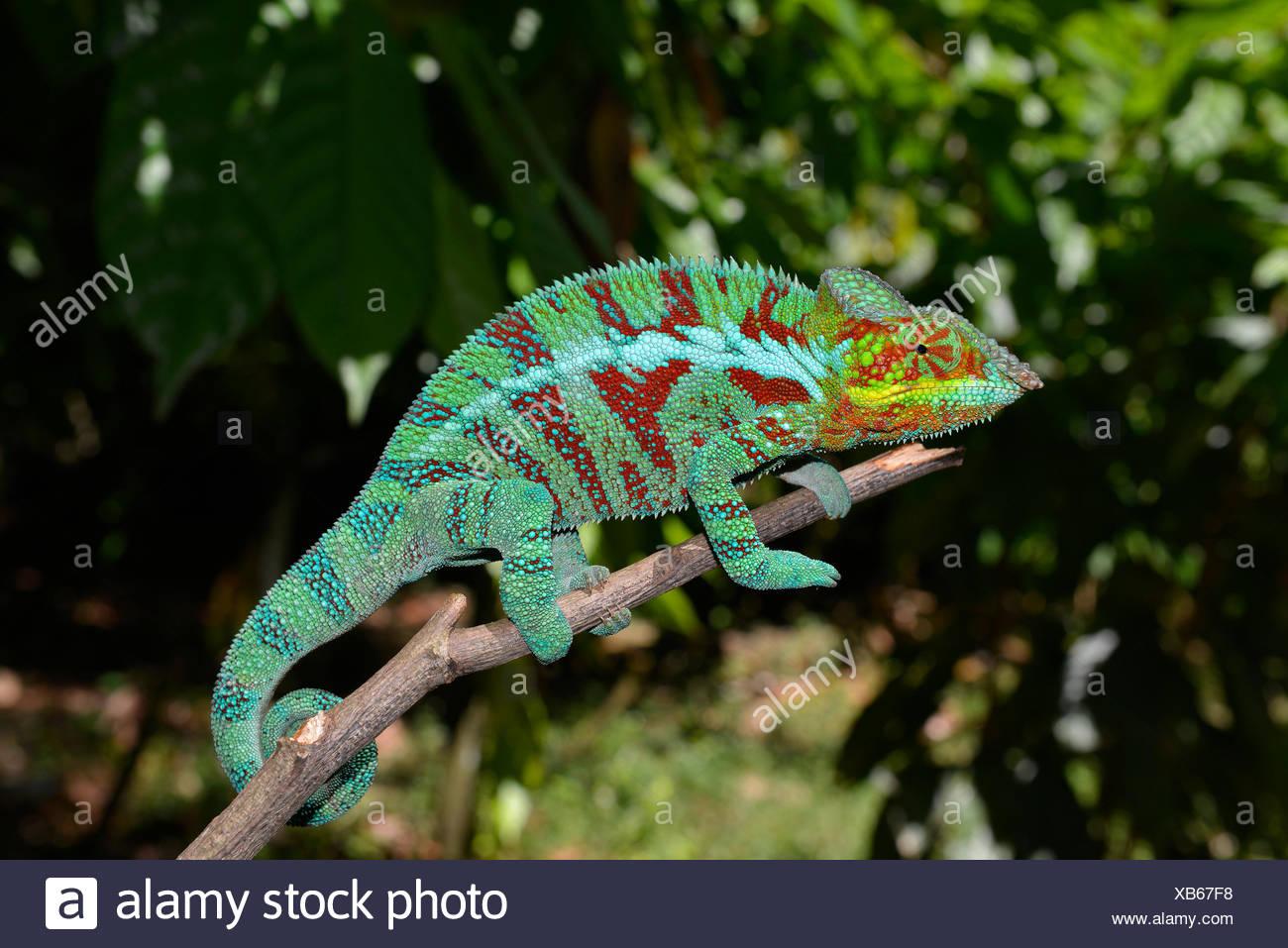Camaleón pantera macho (Furcifer pardalis), en las plantaciones de cacao de Ambanja en el noroeste de Madagascar, Madagascar Imagen De Stock