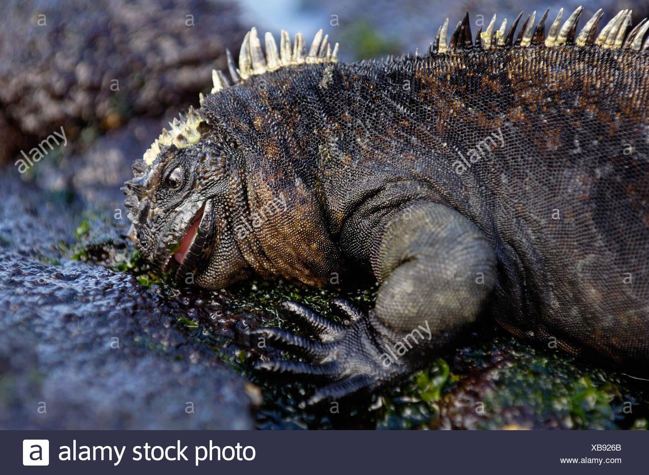 Iguana marina alimentandose en la lechuga de mar (Alva sp.), Puerto Egas, Isla Santiago, Islas Galápagos, Ecuador, América del Sur. Foto de stock