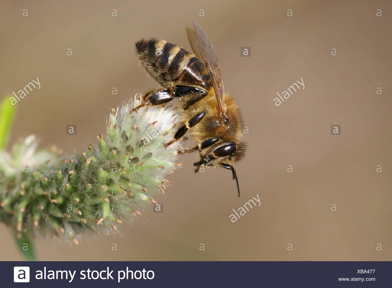 Occidental Europeo de miel de abejas o miel de abejas (Apis mellifera) en una cabra flor de sauce (Salix caprea), Turingia, Alemania Foto de stock